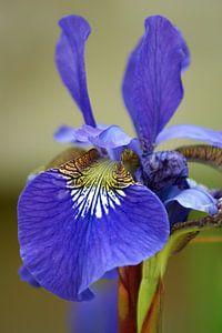 Iris macro - blauw/paars en groen