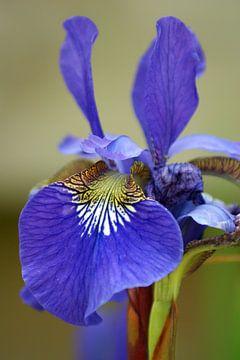 Iris macro - blauw/paars en groen sur Jeroen van Deel