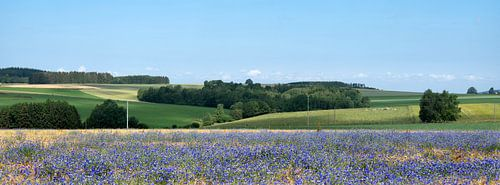 belgian countryside landscape with corn flowers under liege in the belgian ardennes near la roche on