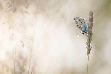 Icarusblauwtje/ Common bleu von Aukje Ploeg
