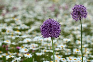 Zwiebelknolle in der Schmetterlingsidylle von Ad Jekel