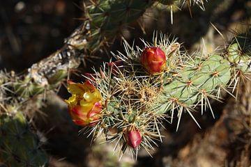 Blüten am Prickling Pear Kaktus von Christiane Schulze