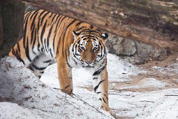 Le tigre sort soudainement de derrière un arbre tombé et vous regarde. Le puissant et beau grand cha sur Michael Semenov