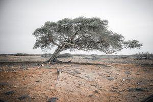 Divi divi boom op Bonaire van