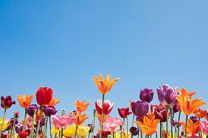 Tulpen met vrolijke kleuren van