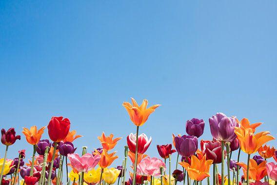 Tulpen met vrolijke kleuren