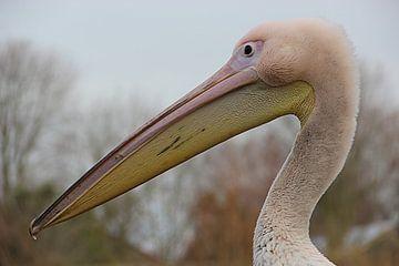 Pélican close-up sur Wilma Overwijn
