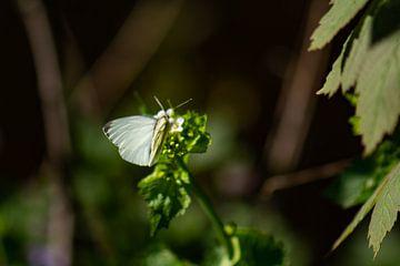 papillon blanc sur Tania Perneel