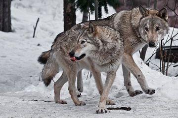 Die Familie der Wölfe besteht aus einem großen Männchen und Weibchen von Michael Semenov