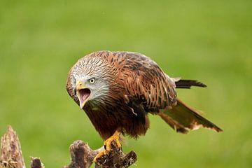 Milan rouge, bec ouvert, assis sur un tronc d'arbre. Regard menaçant, prêt à attaquer, plumes, yeux  sur Gea Veenstra