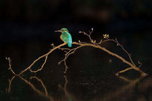 IJsvogel in het laatste licht
