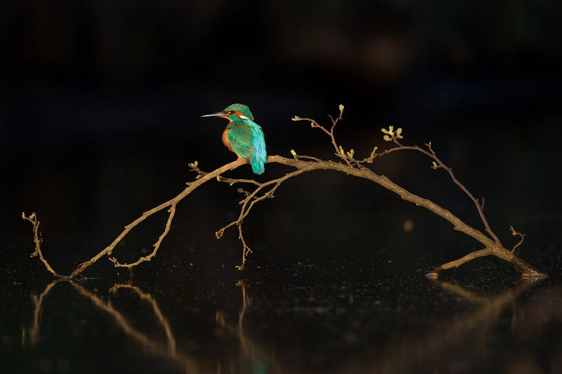 IJsvogel in het laatste licht van IJsvogels.nl - Corné van Oosterhout