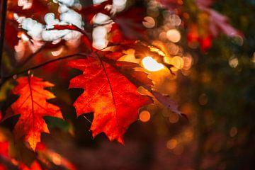 Gros plan de l'automne rouge et orange laisse avec bokeh en arrière-plan. sur Gea Gaetani d'Aragona