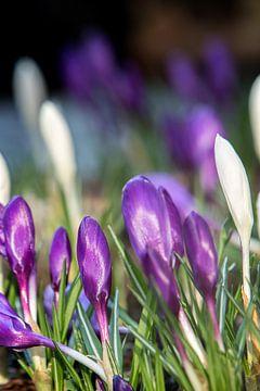 Paarse en witte krokussen van Fleur Halkema