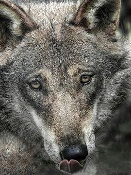 Wolf : biotoop wildpark Anholter Schweiz van Loek Lobel