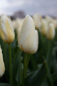 Witten tulp met regendruppels van