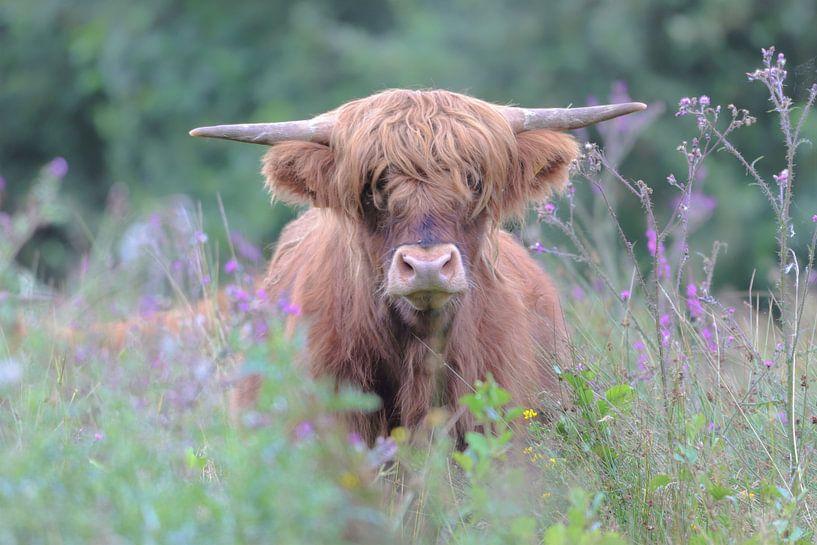 Schotse Hooglander van Karin van Rooijen