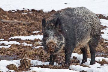 Mächtiges Wildschwein im Profil, halbe Drehung, Mächtiges Wildschwein im Profil, halbe Drehung, vor  von Michael Semenov