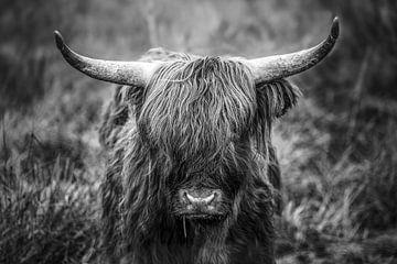 Schottischer Highlander in Limburg von Richard Driessen