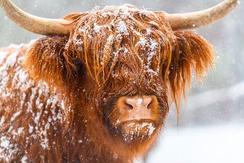 Portret van een Schotse Hooglander in de sneeuw