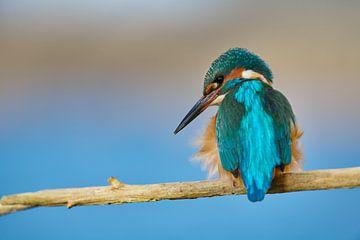 IJsvogel - Mister Blue van IJsvogels.nl - Corné van Oosterhout