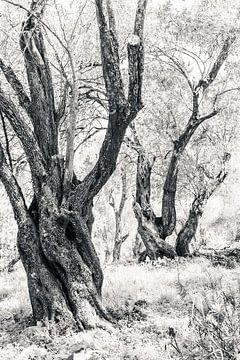 Oude bomen in zwart-wit in olijfgaard van Bep van Pelt- Verkuil