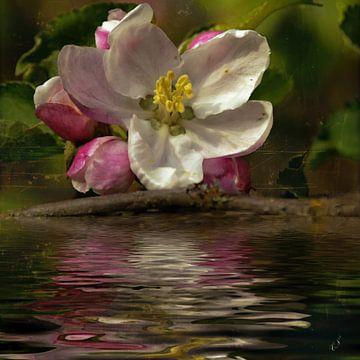 Obstwasser - Apfelblüte von Christine Nöhmeier