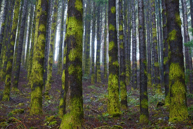 Rechte bomen in de mist in een naaldbos op Madeira van Michel van Kooten