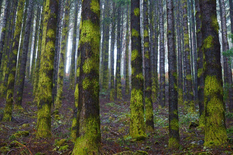 Rechte bomen in de mist in een naaldbos op Madeira