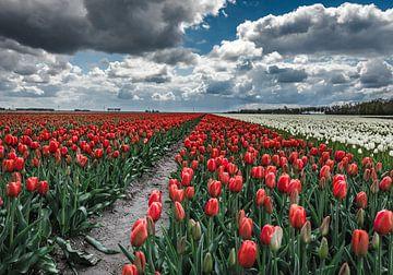 Tulpen veld van Pieter de Kramer