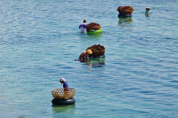 Agar-agar plukkers, Indonesie. van Lex Boon