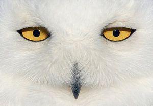 Sneeuwuil (Bubo scandiaca) ogen