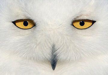 Sneeuwuil (Bubo scandiaca) ogen van Beschermingswerk voor aan uw muur