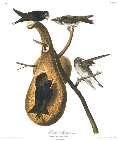Purperzwaluw van Birds of America