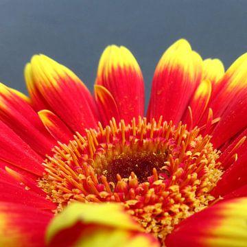 Gerbera bloem rood en geel close-up macro foto van noeky1980 photography