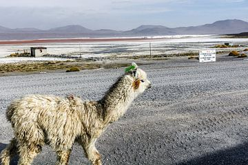 Lama in Bolivia van Arno Maetens