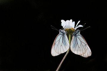 Schwarze Schmetterlinge von Esther Ehren
