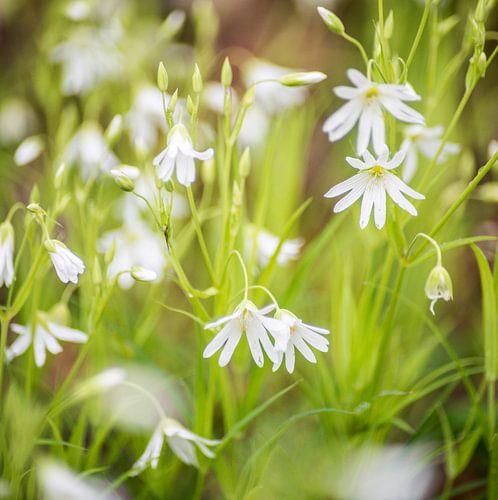 Witte bloemetjes in een groen veld
