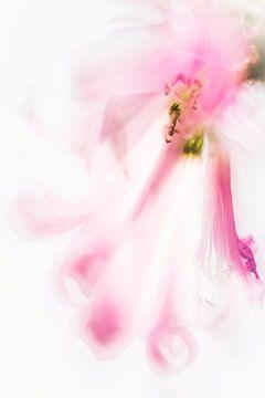 Nerine Bowdenii van Bob Daalder