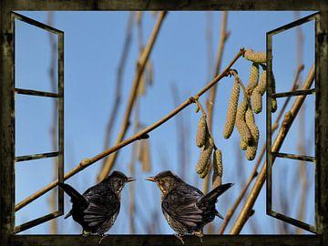 Raam uitzicht  -  merel oproepen in de lente van Christine Nöhmeier
