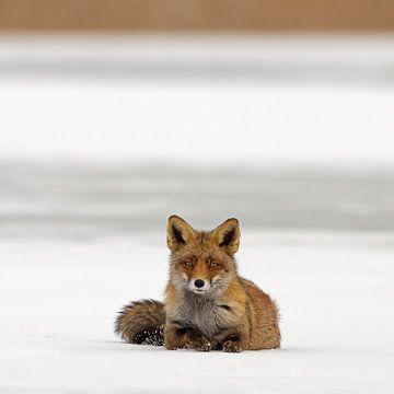 Vos liggend op het ijs