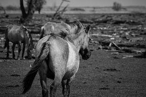Konikpaarden in de wildernis
