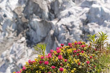 Alpine Rose mit Gletscher im Hintergrund von Barbara Brolsma