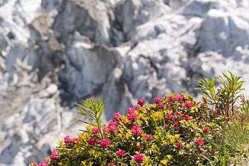 Rose alpine avec glacier en arrière-plan sur Barbara Brolsma