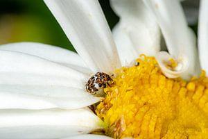 Kleiner bunter Käfer auf einer Margaritenblüte