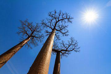 Sunshine Baobabs von Dennis van de Water