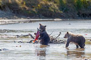 Jonge grizzly beren van Menno Schaefer
