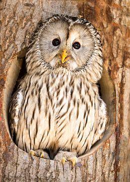 Oural à l'affût du nid. sur Michar Peppenster