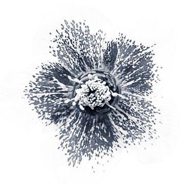 Helleborus impression van