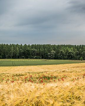 Weizenfeld mit Mohn in Gelinden (B) von Martine Dignef
